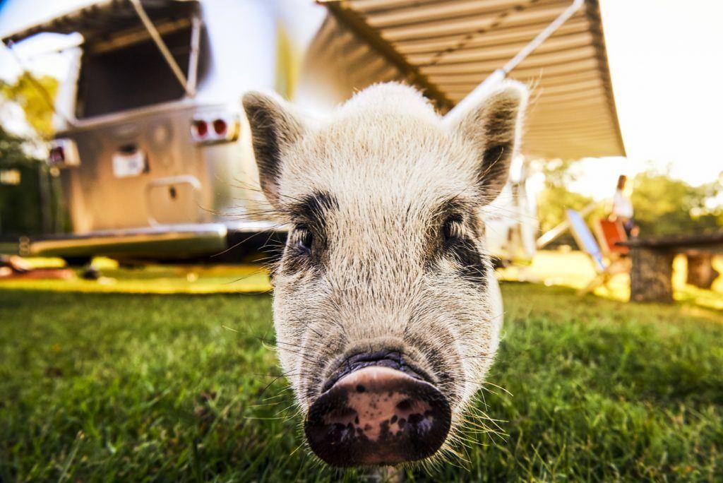 Airstream Pets Pig